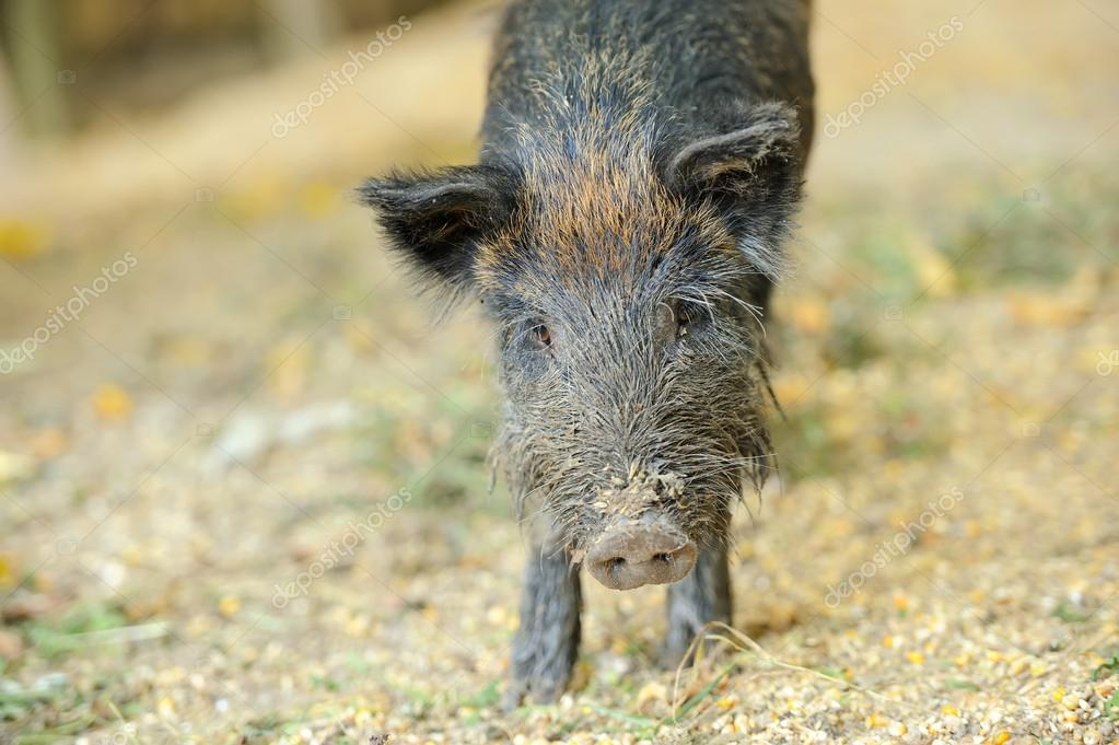Yound wild boar in autumn forest  Stock Photo #13662411