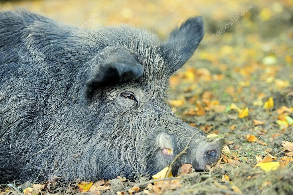 Wild boar in autumn forest  Stock Photo #13662414