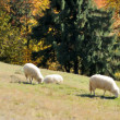 Sheep on a field - Stock Photo