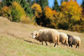 Sheep on a field — Stock Photo