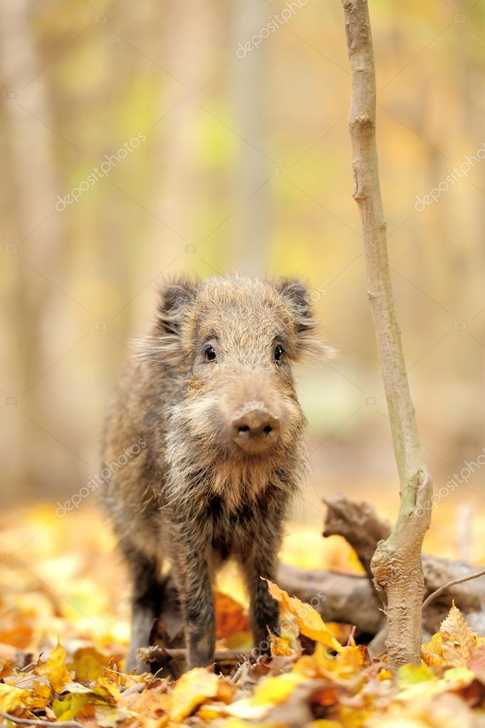 Wild boar in autumn forest — Stock Photo #14745071