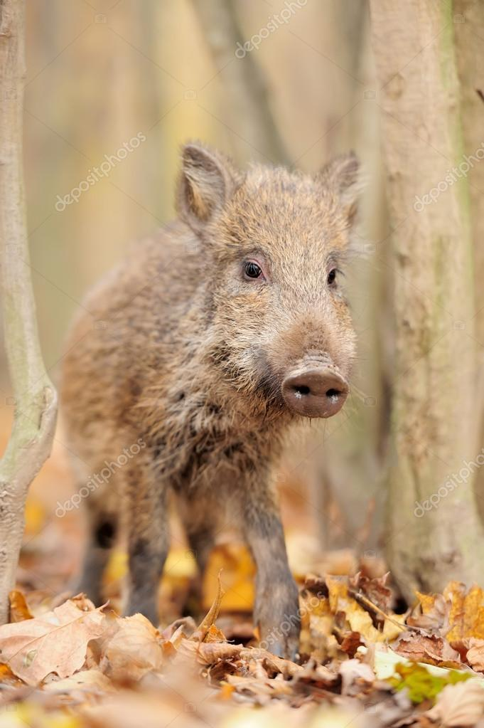 Wild boar in autumn forest  Stock Photo #14745081