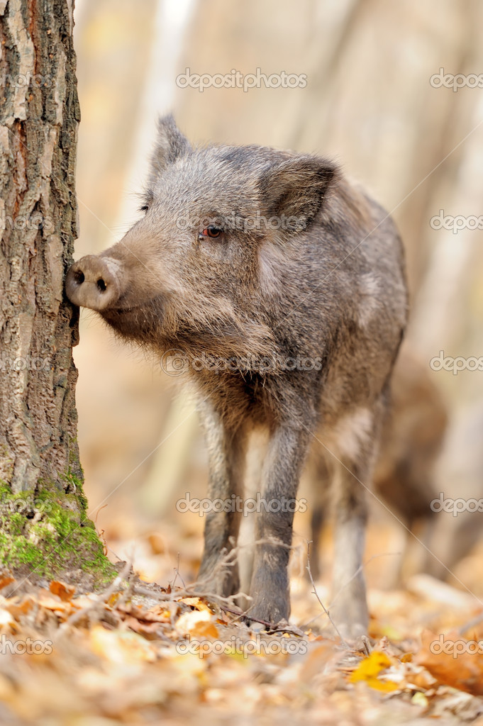 Wild boar in autumn forest — Stock Photo #14745097