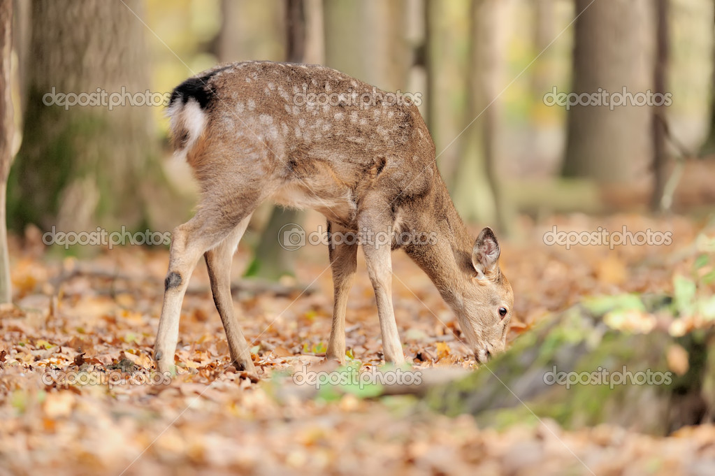 Deer in autumn forest — Stock Photo #14745099