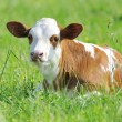 Calf in meadow — Stock Photo #15209299