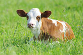 Calf in meadow — Stock Photo
