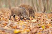 Wildschwein — Stockfoto