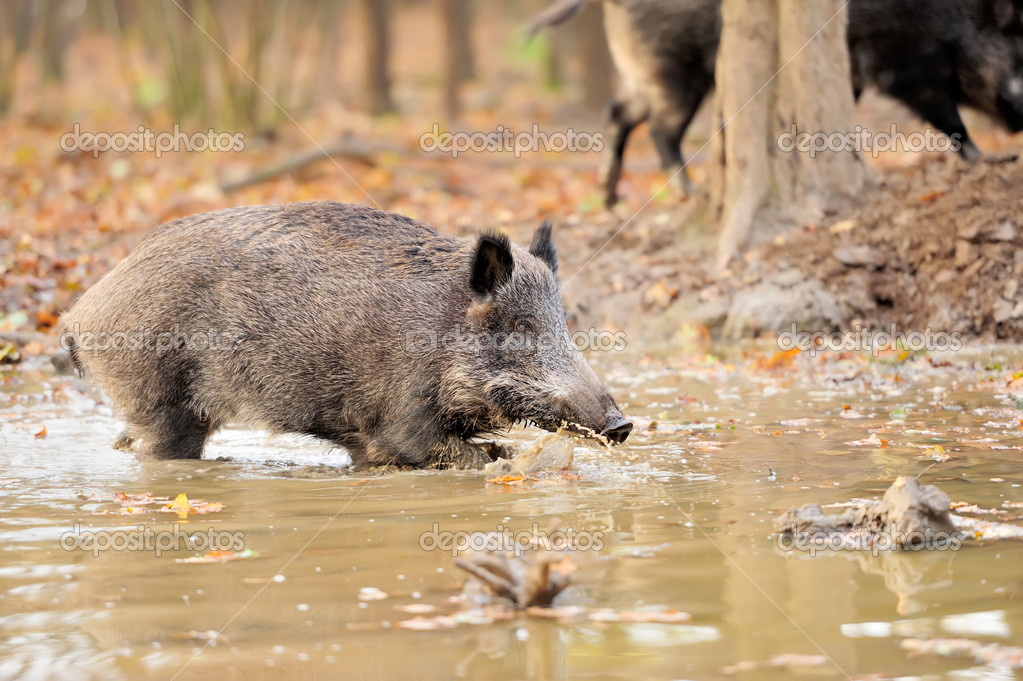 Wild boar in autumn forest  Stock Photo #15209371