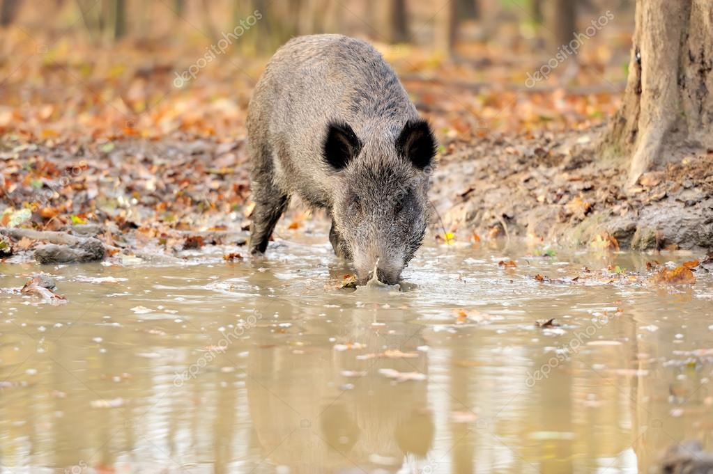 Wild boar in autumn forest — Stock Photo #15209373