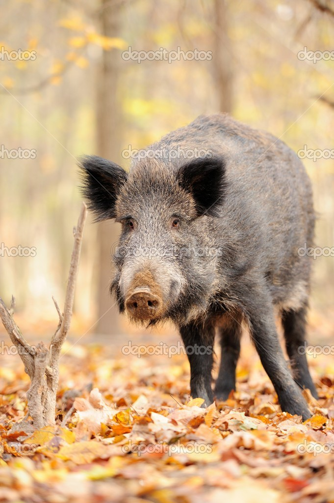 Wild boar in autumn forest — Stock Photo #15209399