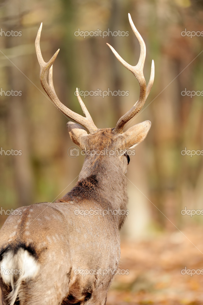 Deer in autumn forest — Stock Photo #15209417