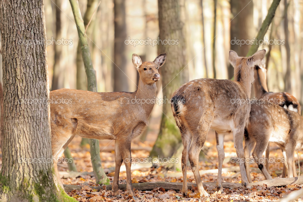 Deer in autumn forest  Stock Photo #15209577