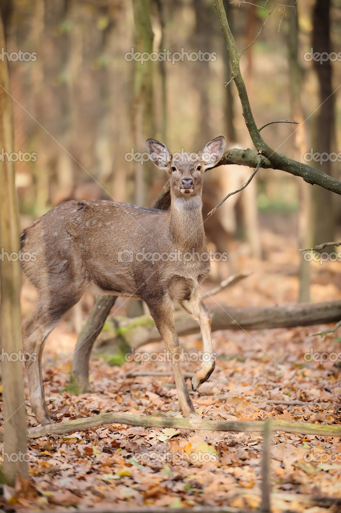 Deer in autumn forest — Stock Photo #15209623