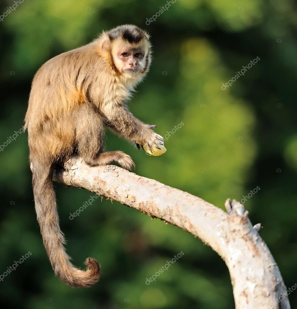 Capuchin monkey  Stock Photo #15209795
