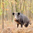 Wild boar in autumn forest - Stockfoto