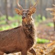 Deer in autumn forest — Stock Photo #16281457