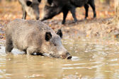 Wild boar in autumn forest — Stock Photo