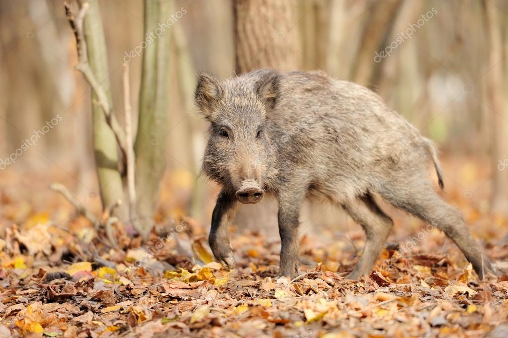 Wild boar in autumn forest — Stock Photo #16281487