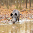 Stock Photo: Wild boar in autumn forest