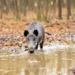 Wild boar in autumn forest — Stock Photo #16689331