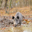 Wild boar in autumn forest — Stock Photo #16689335