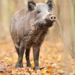Wild boar in autumn forest — Stock Photo #16689357