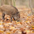 Wild boar in autumn forest — Stock Photo #16689363