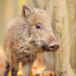 Wild boar in autumn forest — Stock Photo #16689383