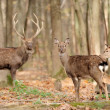 Deer in autumn forest — Stock Photo #16689421