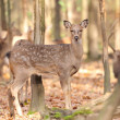 Deer in autumn forest — Stock Photo #16689561