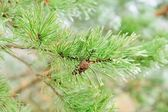 Pine tree or Fir Tree with Cones Closeup — Stock Photo