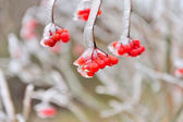 Red berries of Viburnum in the frost on a branch — Stock Photo