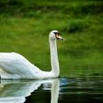Swan — Stock Photo #17212491