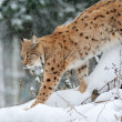 Beautiful wild lynx in winter — Stock Photo #17834927