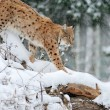 Beautiful wild lynx in winter — ストック写真