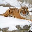 Beautiful wild siberian tiger on snow — Stock Photo