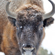 Bison winter day in the snow — Stok fotoğraf