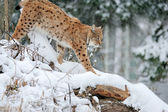 Beautiful wild lynx in winter — Stock Photo