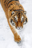 Beautiful wild siberian tiger on snow — Stock Photo