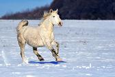 Белая лошадь, работает в зимний период на лугу — Стоковое фото