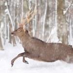 Deer — Stock Photo #18310971
