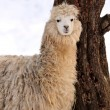 Alpaca — Stock Photo