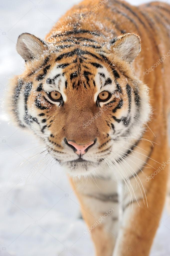 Beautiful wild siberian tiger on snow  — Stock Photo #19010015