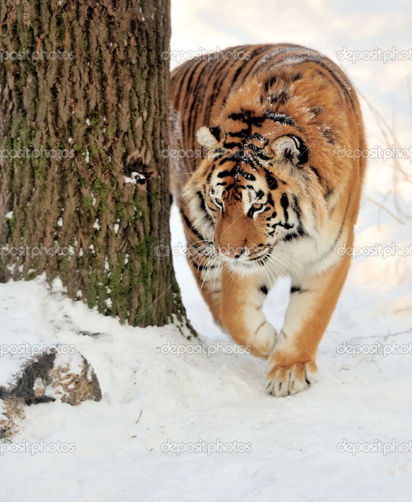Beautiful wild siberian tiger on snow  — Stock Photo #19010051