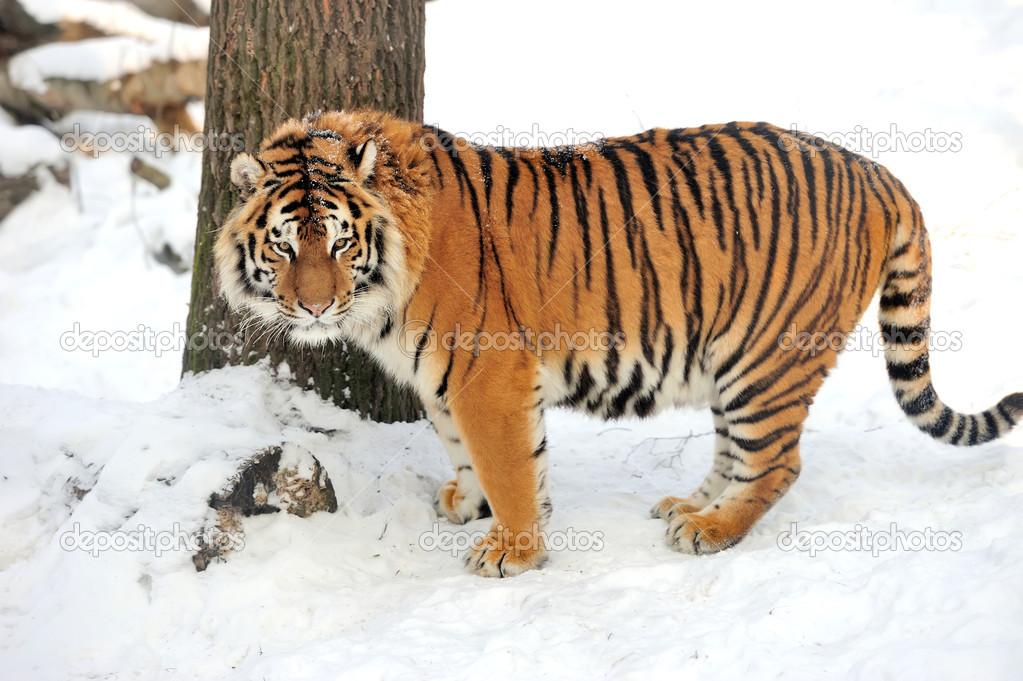 Beautiful wild siberian tiger on snow   Stock Photo #19010053