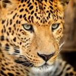 Leopard portrait — Stock Photo #19317085