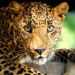Leopard portrait — Stock Photo #19317135