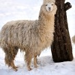 Stock Photo: Alpaca