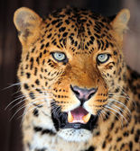 Leopard portrait — Stock Photo