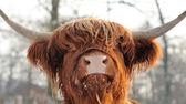 Skotský skot — Stock fotografie